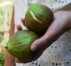 non sono transgenici (mariarita.g) Tags: mani abruzzo 2010 frutti fico ficuscarica
