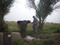 IMGP0298 (Nayzin) Tags: grass bread soldier cow iraq camo weapon feed m4 6millionpeople