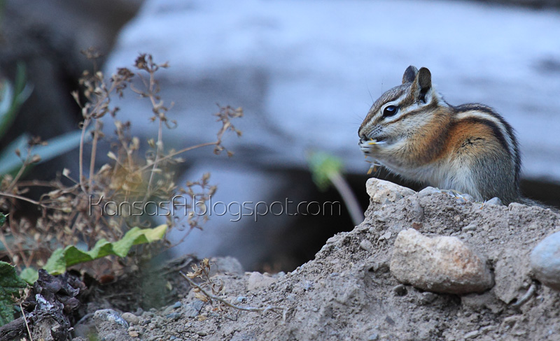 Chipmunk (by KansasA)