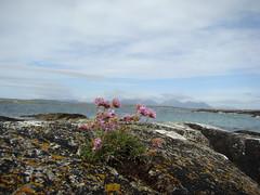 Flowers by seashore - Connemara (brien h) Tags: ireland flower galway connemara seashore