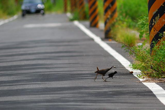 白腹秧雞&雛鳥