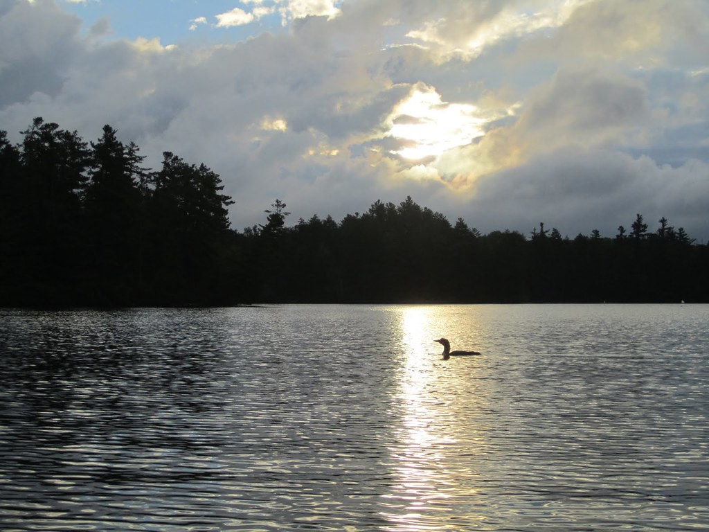 Silhouette of loon