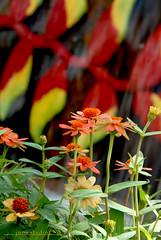 Floral-7726 (jonstudio) Tags: flower floral garden landscape waterfront exhibition putrajaya heliconias fullbloom flowerfest gardendisplay malaysiafestival precinct2 flowershowcase floria2010 outdoorgardenfest tropicalsplendour