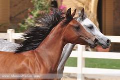Bait ALarab (Banafsaj_Q8 .. Free Photographer) Tags: horse free photographers kuwait 70200 bait kw alarab بيت الكويت العرب kuw nikond90 الوفره alanood banafsaj banafsajq8 alotaibi alanoodvisioncom