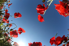 Poppies in the sun (*Firefox) Tags: poppies sunscape deleteit saveit deleteit2 deleteit3 deleteit4 deleteit5 deleteit6 deleteit7 deleteit8 deleteit10 deleteit9 deletedbythedmusunscapesgroup canonef15mmf28fisheye canoneos5dmarkii hawksburyupton
