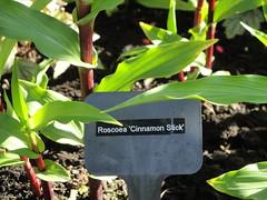 Roscoea 'Cinnamon Stick'