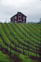 Barn on Hill, Vineyard.31.j (Kurt Preissler) Tags: california film barn wooden vineyard wine hill slide images vineyards grapes scanned slides russianriver wein healdsburg russianrivervalley fujivelvia50 weinberge kurtpreissler preisslermediaservices