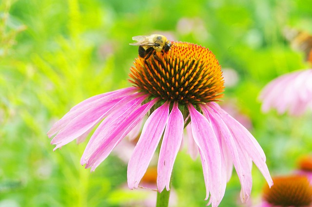 The bee and the echinacea