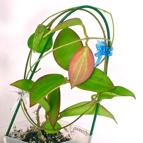Hoya pottsii (IML 0022)