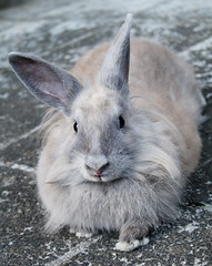 The Queen (bib/smr) Tags: cute rabbit bunny female gray ears lapin hase canon1000d