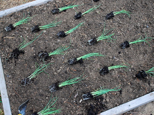 Planting Winter Scallions