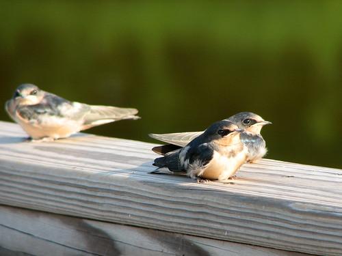 Baby Barn Swallows