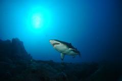 SWRAUG2010 096 (Custom) (AussieByron) Tags: fish rock southwestrocks swr gns greynurseshark tokina1017mm nikond90 aquaticahousing wwwsouthwestrocksdivecentrecomau