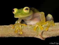 Glass frog (asnyder5) Tags: life wild latinamerica nature glass ecology animals america forest nikon rainforest natural wildlife conservation amphibian honduras science frog research jungle fungus latin tropical cloudforest operation biology tropics herp centralamerica biodiversity herpetology 105mm cusuco nikon105mm wallacea glassfrog operationwallacea opwall batrachochytrium dendrobatidis chytridfungus montanecloudforest bioindicator andrewsnyder chytrid cusuconationalpark batrachochytriumdendrobatidis chytridiomycosis asnyder5 andrewmsnyder amphibianchytridfungus hyalinobatrachiumfleischmani