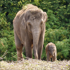 Baby and Mother Elephant (Foto Martien) Tags: china nepal india holland netherlands girl dutch sumatra indonesia thailand zoo rotterdam bhutan nederland vietnam borneo srilanka laos calf bangladesh meisje motheranddaughter asianelephant indochina kalf dierentuin babyelephant elephasmaximus dierenpark indianelephant diergaardeblijdorp asiaticelephant aziatischeolifant babyolifant borneoelephant sumatranelephant newbornelephant a550 elefanteasitico moederendochter lphantdasie srilankanelephant zoorotterdam martienuiterweerd martienarnhem sony70300gssmlens sonyalpha550 mygearandme mygearandmepremium mygearandmebronze mygearandmesilver mygearandmegold mygearandmeplatinum fotomartien southsoutheastasia pasgeborenolifant asiatischelefant babyfaya motherbangka moederbangka fathertimber vadertimber