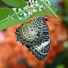 Leopard Lacewing (annkelliott) Tags: canada detail macro calgary nature beautiful closeup digital butterfly insect square lumix photo image bokeh patterns alberta underside winner pointandshoot sideview captive zigzag squarecrop calgaryzoo naturesfinest colorimage leopardlacewing cethosiacyane feelsgood top20butterflymoth beautyinnature supershot southernalberta cethosia wingsclosed beautifulexpression top2020 annkelliott enmaxconservatory fz35 dmcfz35 panasonicdmcfz35 heliconiine foundinsouthasia p1010087fz35
