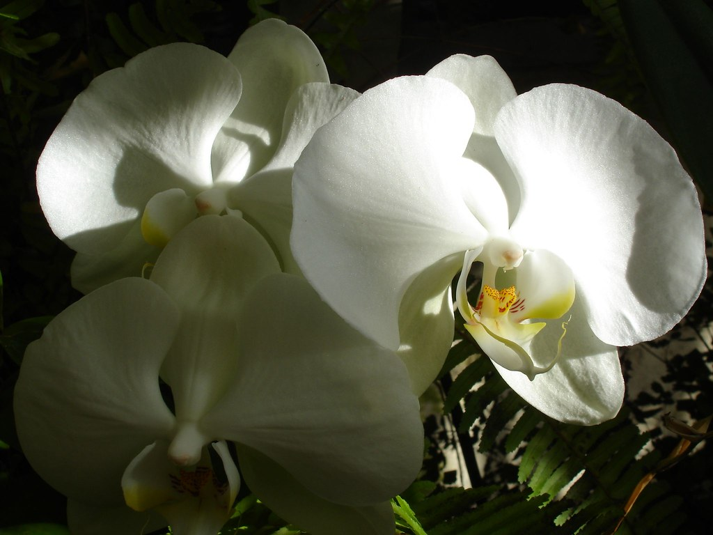 White Orchids in Sun and Shade