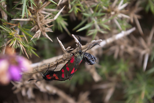 Six-Spot/Red Burnet Moth