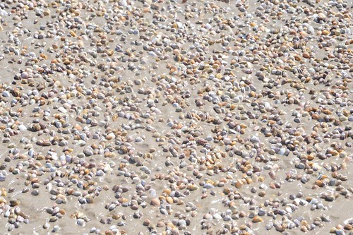 Sea Shells Venice Beach