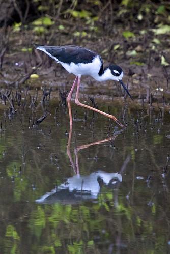 Black-necked Stilt (Himantopus mexicanus) Wading