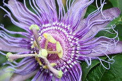 Passionsblume (Sommerwind_1974) Tags: macro love nature top clematis best lila blume i natures