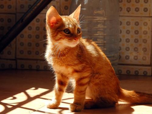 gato pipin cat