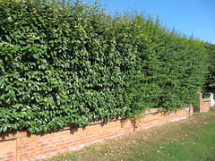 Escallonia and Eleagnus hedge (wallygrom) Tags: england westsussex hedge eastpreston escallonia eleagnus coastalplants goldenavenue escalloniamacrantha seasideplants eleagnusebbingei hedgingplants plantsforseasidegardens coastalhedging hedgingshrubs seasidehedging