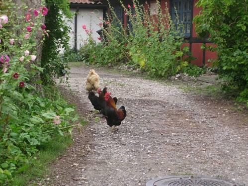 Høns på tur