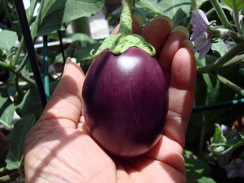 First harvested eggplant