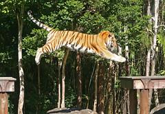 IMG_7956 (Tony Donoghue Photography) Tags: tigers dreamworld bigcats