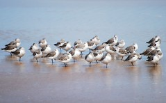 Shore birds - Sanderlings on the beach (blmiers2) Tags: bird beach nature birds geotagged nikon florida wildlife faves daytonabeach daytona avian sanderling sanderlings shorebirds laridae charadriiformes calidrisalba scolopacidae birdphoto nikond40x d40x avianwildlife daytonabeachbirds blm18 blmiers2