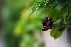 Summer Berry's (Nanagyei) Tags: summer house colors 50mm berry berries dof sony apsley a700 greatelmsroad