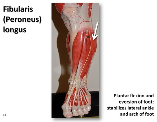 Fibularis Longus Muscles Of The Lower Extremity Anatomy Visual