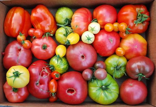 Mid August Tomato Harvest 3