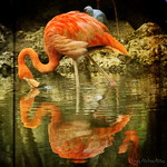 The Reflection of an American Flamingo (Phoenicopterus ruber) in texture
