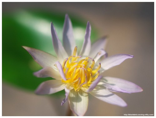 Water Lily #02