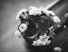(Meshael Ali) Tags: light bw white black flower 50mm bokeh d ali 450  50mm18 450d canon450d  meshael meshaelali