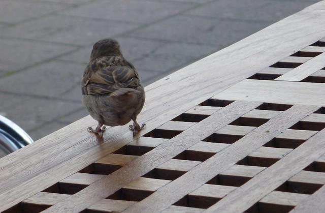 sparrowbutt2