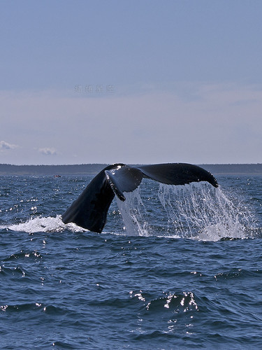 Finback Whale's Tail