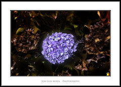 Sla en la oscuridad (Jose Luis Mieza Photography) Tags: flowers flores flower fleur fleurs flor benquerencia florews reinante jlmieza reinanteelpintordefuego joseluismieza