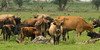 Bos domesticus - Heckrund - Heck Cattle (Ed Steenhoek) Tags: lelystad oostvaardersplassen heckrund heckcattle bosdomesticus