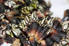 Spanish Goose Barnacle Recipe