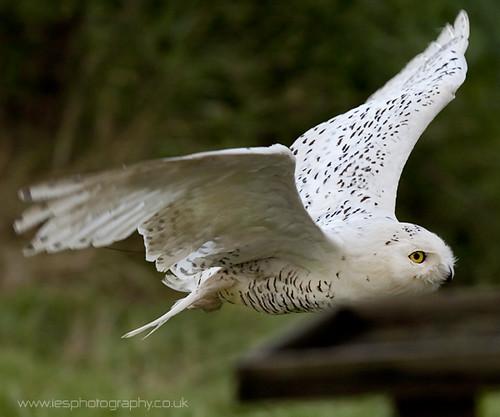 Snowy Owl - BWC