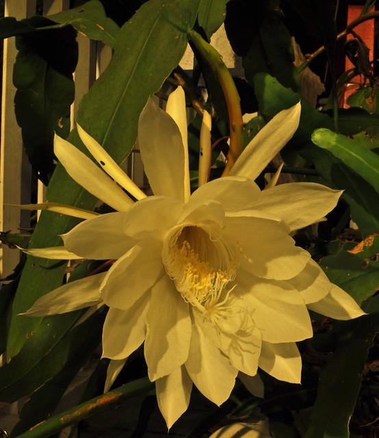 Epiphyllum oxypetalum 08-23-10 2335