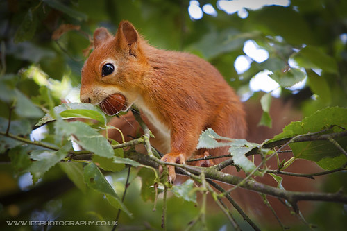 BWC - Red Squirrel