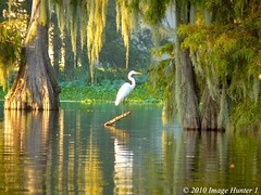 Great Egret Enjoying The Lake Martin Sunset (Image Hunter 1) Tags: sunset reflection tree nature water birds moss louisiana branch lily spanish bayou swamp spanishmoss perched cypress marsh lilypads sunlit egret greategret hyacinth pads cypresstree lakemartin waterhyacinth birdslouisiana cypressislandpreserve panasonicfz35