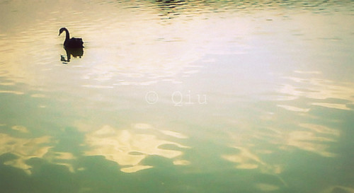 Maubuee 007 / Black Swan
