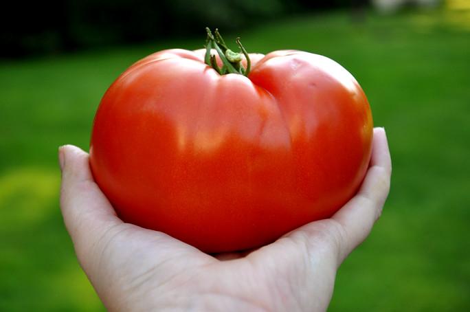 tomato harvest 3