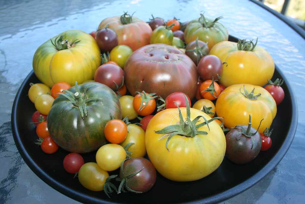 Laura McIntosh heirloom tomatoes