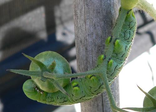 Sphinx Moth Caterpillar